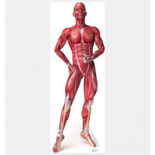 Anatomy Muscle System